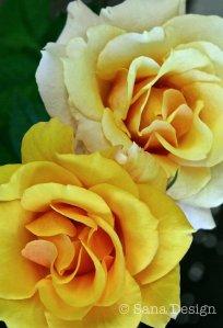 Ruusut1