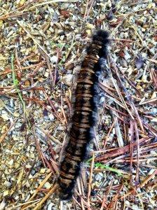 karvainen toukka